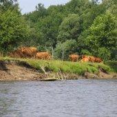 Krowy pasące się nad Bugiem w okolicy Dołhobród.